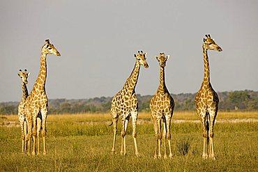 Giraffes (Giraffa camelopardalis), Chobe National Park, Botswana, Africa