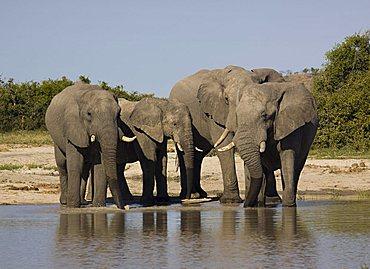 African elephant (Loxodonta africana) elephant herd, Savuti, Chobe National Park, Botswana, Africa