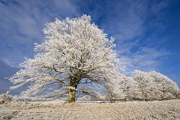 Oak with hoarfrost, Doernhagen, North Hesse, Germany, Europe