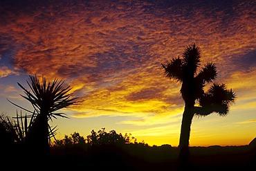 Joshua trees at sunset, Joshua Tree National Park, California, USA