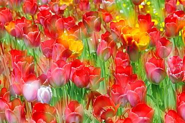 Tulips (Tulipa) in a meadow, multiple exposures