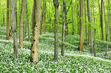 Beech forest with a blossoming Ramson field (Allium ursinum), Germany, Europe