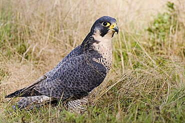 Peregrine Falcon (Falco peregrinus) sitting in the tall grass, Vulkaneifel, Rhineland-Palatinate, Germany, Europe