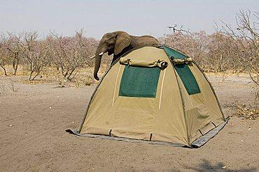African Bush Elephant (Loxodonta africana) walking by a campsite, Chobe National Park, Botswana, Africa
