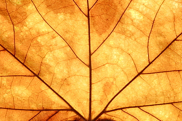 Brown oak leaf, close up