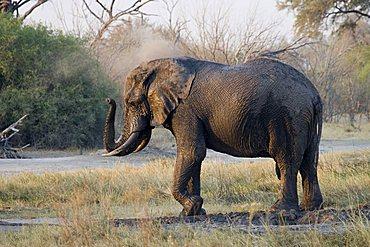 African Bush Elephant or Savanna Elephant (Loxodonta africana), Moremi Game Reserve, Botswana, Africa