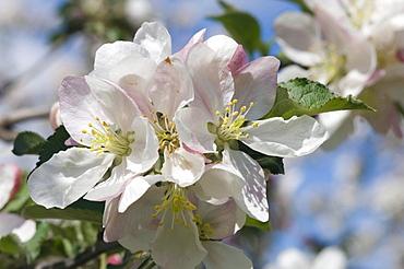 Apple blossom, Nalles, Merano country, Trentino, Alto Adige, Italy, Europe