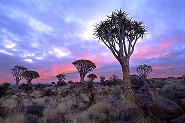 Quiver Tree Forest (Aloe dichotoma), sunrise, Gariganus Farm, near Keetmanshoop, Namibia, Africa