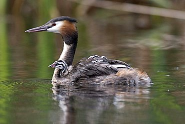 Great Crested Grebe (Podiceps cristatus) swimming with hatchling on its back, Vulkaneifel, Germany, Europe