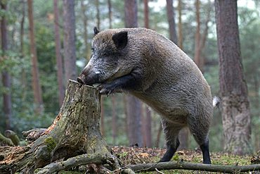 Wild Boar (Sus scrofa) leaning into tree stump in search of food, Daun Zoo, Vulkaneifel, Germany, Europe