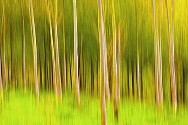 Birch grove, impression