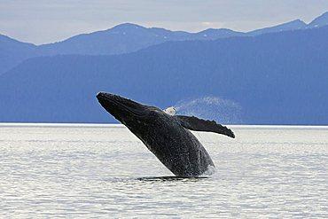 Humpback Whale breaching (Megaptera novaeangliae), Baleen Whales, Alaska's Inside Passage, Alaska, USA
