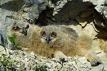 Eagle owls (Bubo bubo) nestling