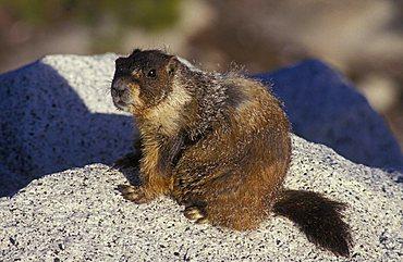 Marmot (Marmota) in the Yosemite National Park, California, America, United States