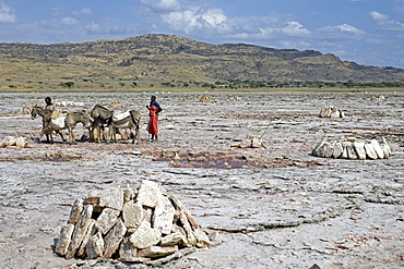 Soda extraction at Lake Natron, donkeys of the Maasai transport the salt slabs to the lake shore, Tanzania, Africa