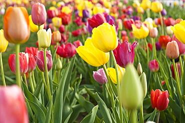 Tulip field (Tulipa)