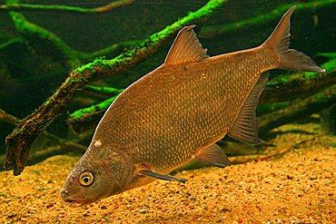 Carp Bream (Abramis brama) in an aquarium in the Mueritzeum, Germany's largest aquarium for native freshwater fish, Waren on the Mueritz, Mecklenburg-Western Pomerania, Germany, Europe