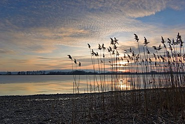Reed (Phragmites communis) in the evening light, Lake Constance, Markelfingen, Radolfzell, County of Constance, Baden-Wurttemberg, Germany, Europe