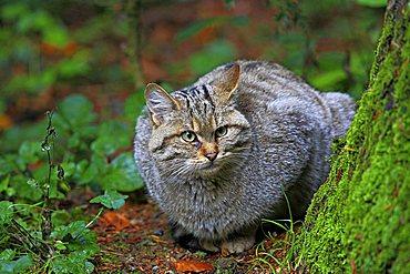 Wild cat (Felis sylvestris), enclosure zone of the Nationalpark Bayerischer Wald Bavarian Forest National Park, Bavaria, Germany, Europe