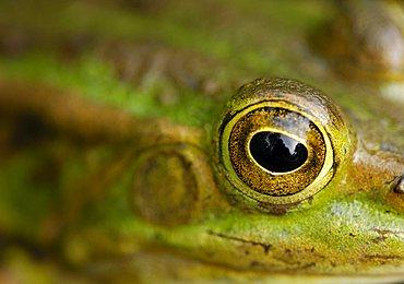 Eye of an edible frog (Rana esculenta)
