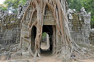 Large fig tree (Ficus altissima), Ta Som, Angkor, Cambodia, Asia