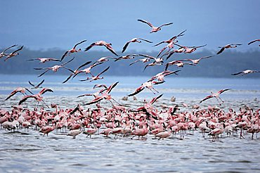Flamingoes (Phoenicopterus roseus und minor) taking off, Lake Nakuru, Kenya, Africa