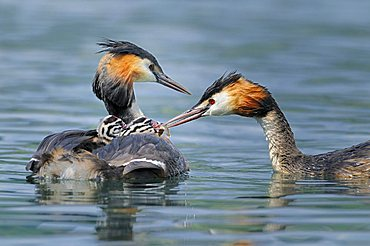 Great Crested Grebe (Podiceps cristatus) feeding her young