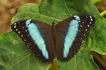 Peleides Blue Morpho Butterfly (Morpho peleides), Ecuador, South America