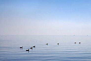 Brants at the Wadden Sea, Amrum, North Frisia, Schleswig-Holstein, Germany, Europe