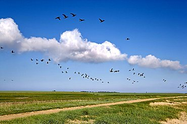 Brent Geese above the Wadden Sea near Steenodde towards the lighthouse, Amrum, North Frisia, Schleswig-Holstein, Germany, Europe