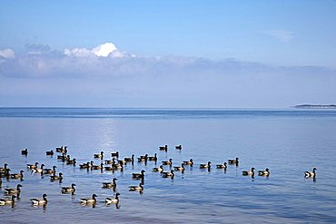 Brent Geese on Wadden Sea, Sylt Island, North Frisia, Schleswig-Holstein, Germany, Europe