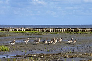 Greylag Geese on Wadden Sea, Sylt Island, North Frisia, Schleswig-Holstein, Germany, Europe