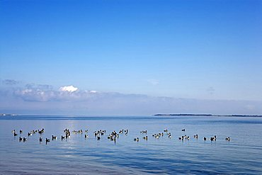 Brent geese in the Wadden Sea near Steenodde, Amrum, North Friesland, Schleswig-Holstein, Germany