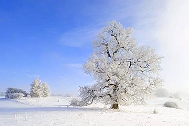 English Oak (Quercus robur), winter landscape, Swabian Alb, Baden-Wuerttemberg, Germany, Europe