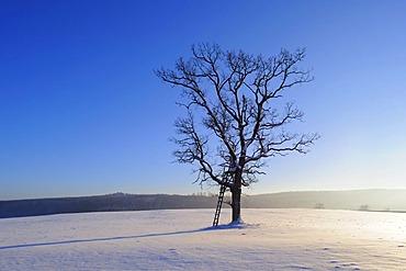 English Oak tree (Quercus robur)