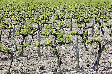 Vineyard in spring, Camargue, Gard, Languedoc-Roussillon, Southern France, France, Europe