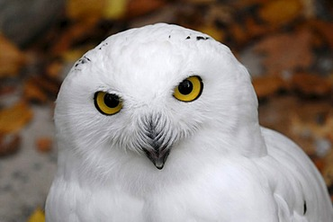 Snowy Owl (Bubo scandiacus, Nyctea scandiaca), Portrait, Animal Park, Baden-Wuerttemberg, Germany, Europe