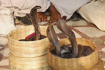 Snake charmer's cobras, Hawa Mahal, Palace of Winds, Jaipur, Rajasthan, North India, Asia