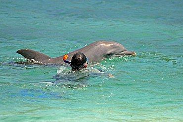 Common Bottlenose Dolphin (Tursiops truncatus), adult, swimming with snorkeler, Roatan Island, Honduras, Caribbean, Central America