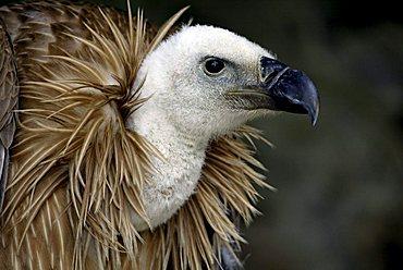 Griffon Vulture, or Eurasian Griffon Vulture, (Gyps fulvus), adult, portrait
