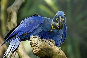 Hyacinth Macaw (Anodorhynchus hyacinthinus), adult, pair, courtship display, native to South America