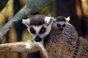 Ring-tailed Lemur (Lemur catta), adult, female, with a youngster, portrait, Berenty Game Reserve, Madagascar, Africa
