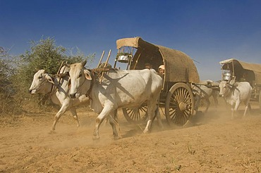 Ox carriages on a dusty road, Bagan, Myanmar, Burma, Southeast Asia