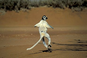 Verreaux's Sifaka (Propithecus verreauxi), jumping, Berenty Game Reserve, Madagascar