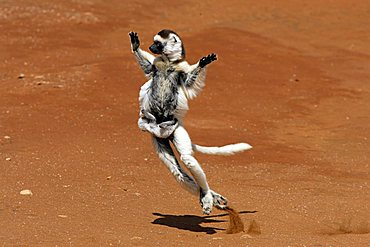 Verreaux's Sifaka (Propithecus verreauxi), adult, female, with a young animal, jumping, dancing, Berenty Game Reserve, Madagascar