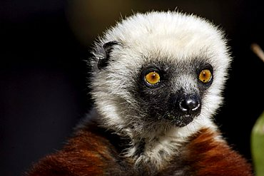 Verreaux's Sifaka (Propithecus verreauxi), adult, in a tree, portrait, Madagascar