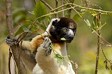 Verreaux's Sifaka (Propithecus verreauxi), adult, in a tree, feeding, portrait, Madagascar