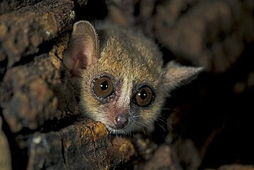 Gray Mouse Lemur (Microcebus murinus), adult peering out of a hole in a tree, Perinet Game Reserve, Madagascar, Africa