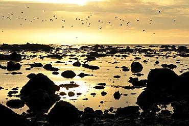 Seagulls off the coast at Sand Point, Olympic National Park, Washington, USA, North America