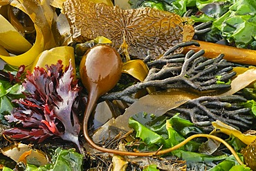 Various types of colourful Seaweed (Macrocystis), brown, yellow, green, red